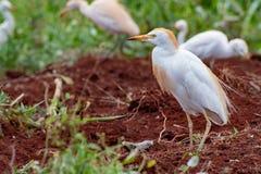 Положение Egrets скотин и искать для червей стоковые изображения