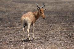 положение gazelle пустыни Африки Стоковое Изображение RF