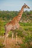 положение giraffe Стоковая Фотография