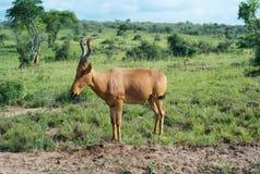 Положение Hartebeest в траве стоковое фото rf