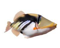 положение humuhumunukunukuapua s Гавайских островов рыб Стоковое Изображение RF