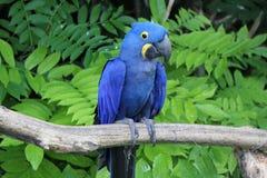 положение macaw hyacinthe ветви стоковые изображения