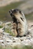 положение marmot Стоковые Изображения RF