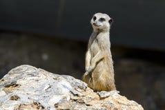 Положение Meerkat Стоковые Фото