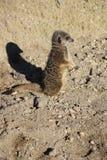 Положение Meerkat Стоковые Фотографии RF