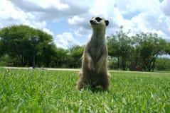 положение meerkat Стоковые Изображения RF