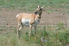 положение pronghorn парка custer антилопы Стоковые Изображения RF