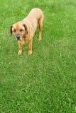 положение rottweiler смешивания mastiff лужайки сочное Стоковые Фотографии RF