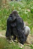 положение silverback гориллы Стоковая Фотография