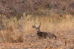 положенный в постель осляк оленей самеца оленя Стоковые Фото