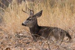 положенный в постель осляк оленей самеца оленя Стоковые Фотографии RF
