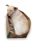 положите белизну в коробку картона изолированную собакой Стоковое фото RF