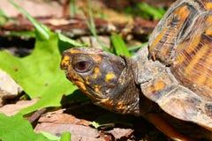 положите черепаху в коробку terrapene Каролины Стоковые Фото