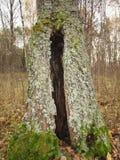 Полость в старой березе покрытой с мхом в лесе осени Стоковое фото RF