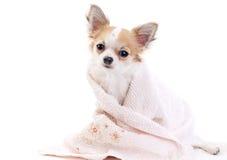 полотенце изолированное чихуахуа розовое сладостное Стоковые Фото