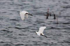 Полученные Egrets уловили и сделали бег для его стоковое изображение