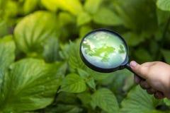 Получите, что знать мир мальчик руки белого человека который исследует зеленые листья летом с его лупой стоковые фотографии rf
