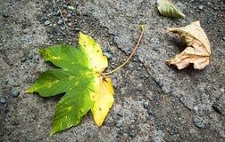 Полу-желтый кленовый лист Осень стоковая фотография