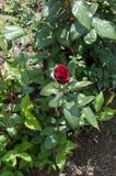 Полу-раскрытый бутон кармина сада поднял Стоковое фото RF