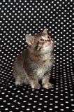 полька котенка многоточия предпосылки черная Стоковые Изображения RF