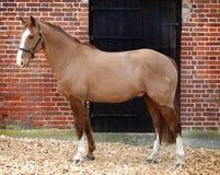 Польностью закрепленная лошадь Стоковое Изображение