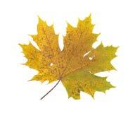 польностью изолированный размер фото листьев Стоковые Фотографии RF