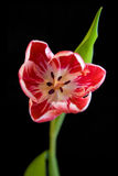 польностью раскрытый тюльпан Стоковые Изображения