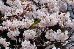 Польностью цветя вишневый цвет, Киото Япония стоковая фотография