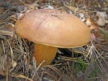 Польское badia Imleria гриба Стоковая Фотография RF