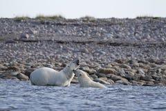 2 полярного медведя воюя в Северном океане около Arviat Стоковая Фотография RF