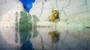 Полярные медведи Стоковые Фотографии RF