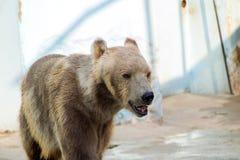 Полярный медведь, белый медведь Стоковые Изображения