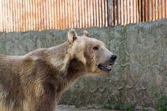 Полярный медведь, белый медведь Стоковые Фото