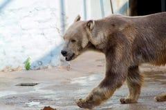 Полярный медведь, белый медведь Стоковое Фото