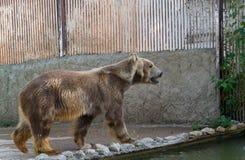 Полярный медведь, белый медведь Стоковое Изображение RF