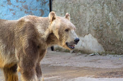 Полярный медведь, белый медведь Стоковая Фотография