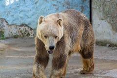 Полярный медведь, белый медведь Стоковые Фотографии RF
