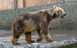 Полярный медведь, белый медведь Стоковые Изображения RF