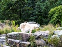 Полярный медведь в Берлине Германии Стоковая Фотография