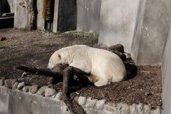 Полярный медведь в плене стоковые фото