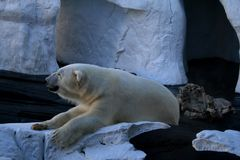 Полярный медведь в SeaWorld стоковые фотографии rf