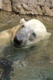 Полярный медведь играя в воде Стоковые Изображения RF