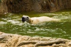 Полярный медведь имея заплывание потехи - maritimus Ursus стоковое фото