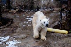 Полярный медведь на зоопарке Asahiyama Стоковое Фото
