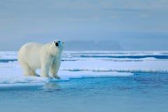 Полярный медведь на крае льда смещения с снегом вода в море России Белое животное в среду обитания природы, Европа Сцена живой пр Стоковое фото RF