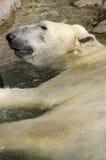 Полярный медведь отдыхая в воде Стоковое фото RF