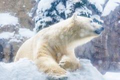 Полярный медведь сидя на снеге в его клетке зоопарка во время идя снег дня Стоковые Фотографии RF