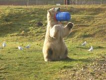 Полярный медведь смотря вне на мире стоковые изображения