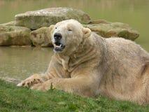 Полярный медведь смотря вне на мире стоковая фотография rf