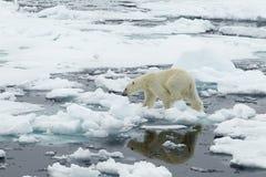Полярный медведь Стоковое Фото